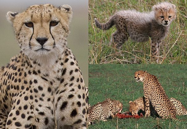 Choke Leopard