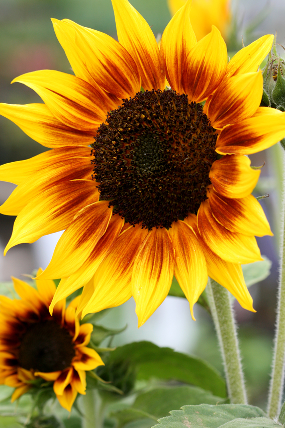 Sunflower Ring Of Fire Buy Online At Annie S Annuals