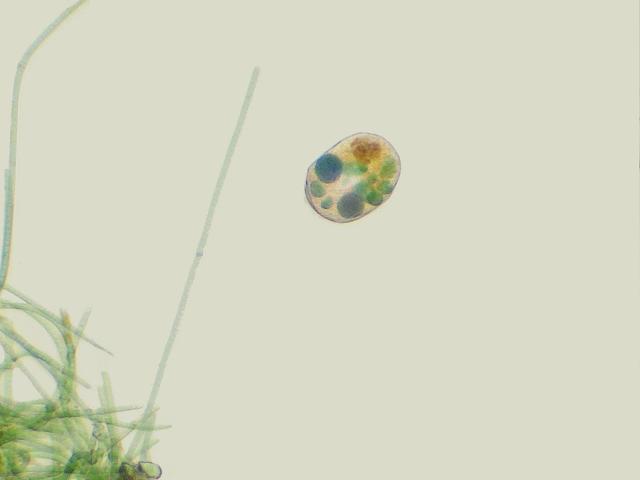 Nassula species ? with Oscillatoria cyanobacteria at ...
