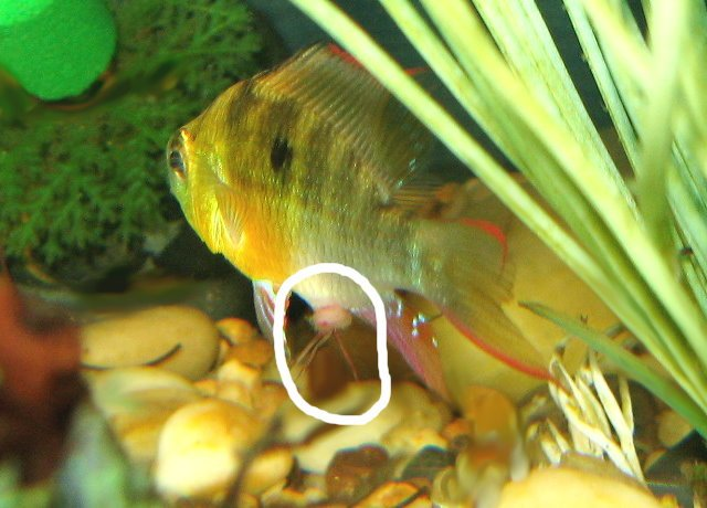 Red Worms Coming Out Of Fish Anus Aquariacentral Com