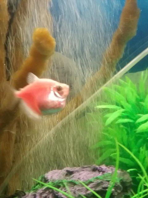 Is my Glofish pregnant???? | AquariaCentral.com