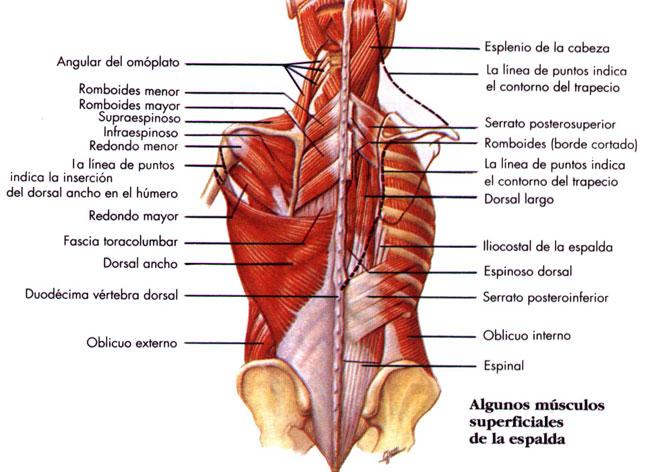 Moderno Los Músculos De La Espalda Baja Festooning - Anatomía de Las ...