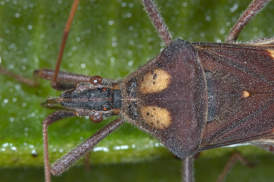 Leaf Bugs Search In Pictures