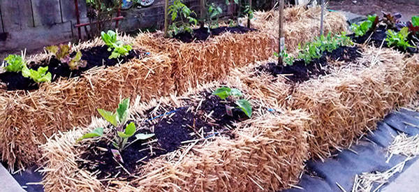 Gardening For The Future Hay And Straw Bale Gardening