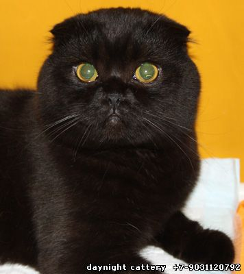31 Very Beautiful Black Scottish Fold Cat Pictures And Photos