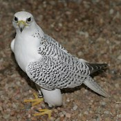 White Pigeons For Sale California (8)