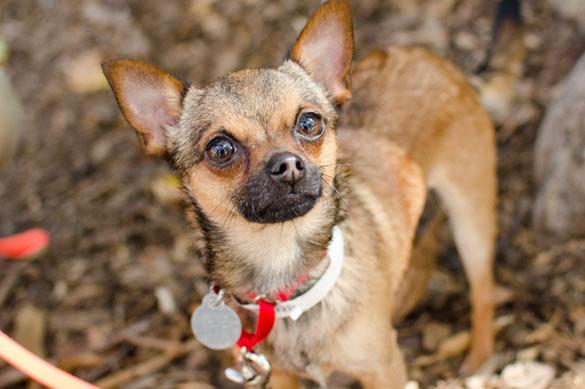 Black And Tan Chihuahua Mix