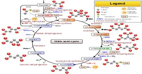 Citric Acid Cycle Assignment Point