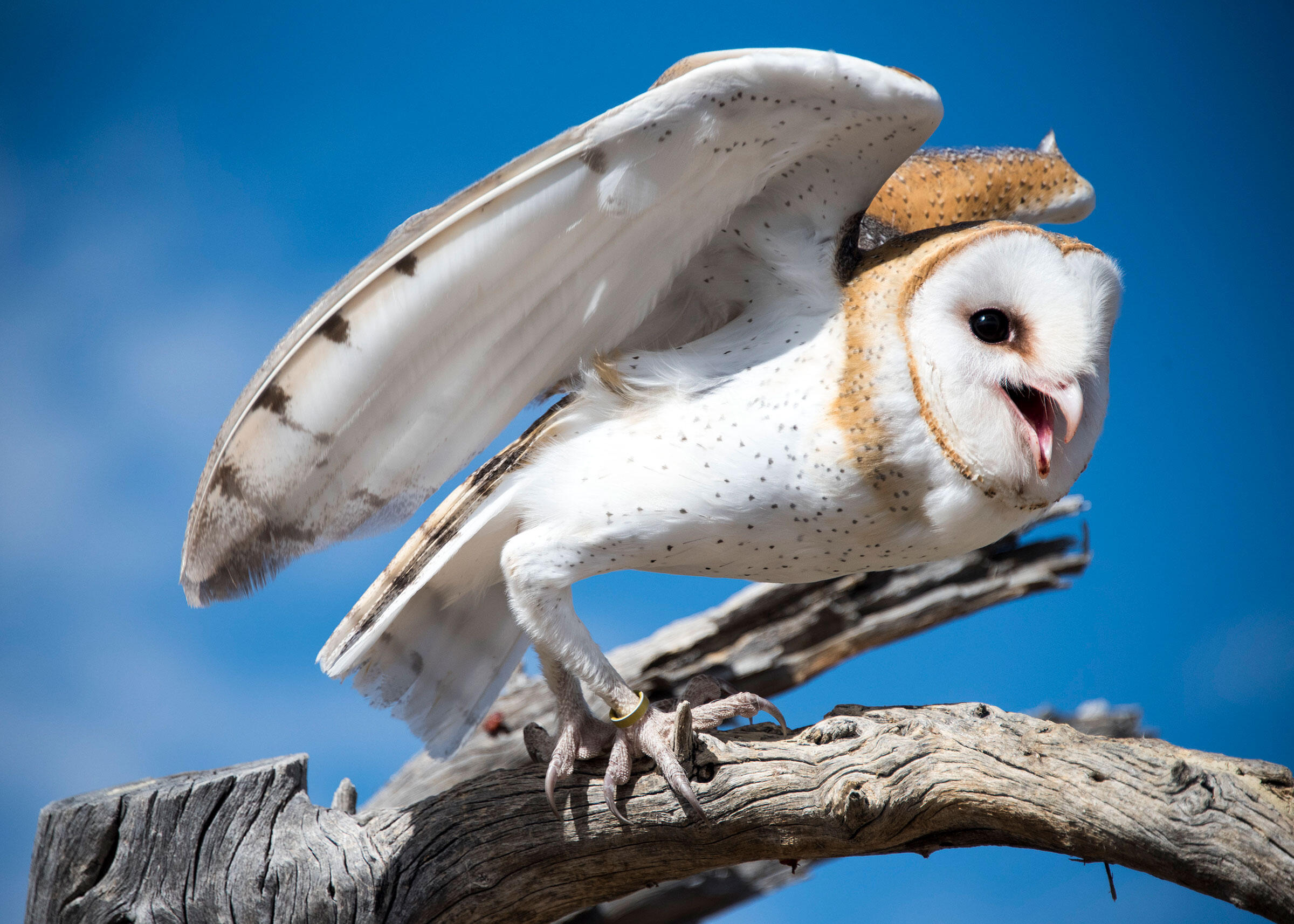 Barn Owl | Audubon Field Guide