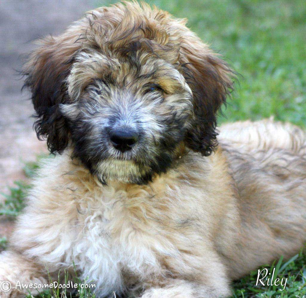 Awesomedoodle Aussiedoodle Puppies