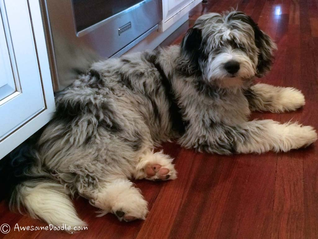 Should I buy an AussieDoodle?