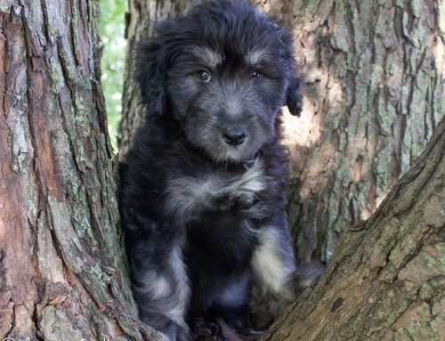 Choosing the right foods for your AussieDoodle Puppy