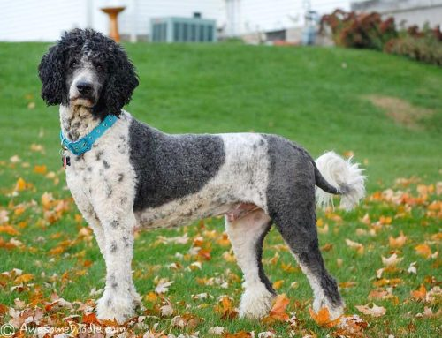 Codee the standard poodle