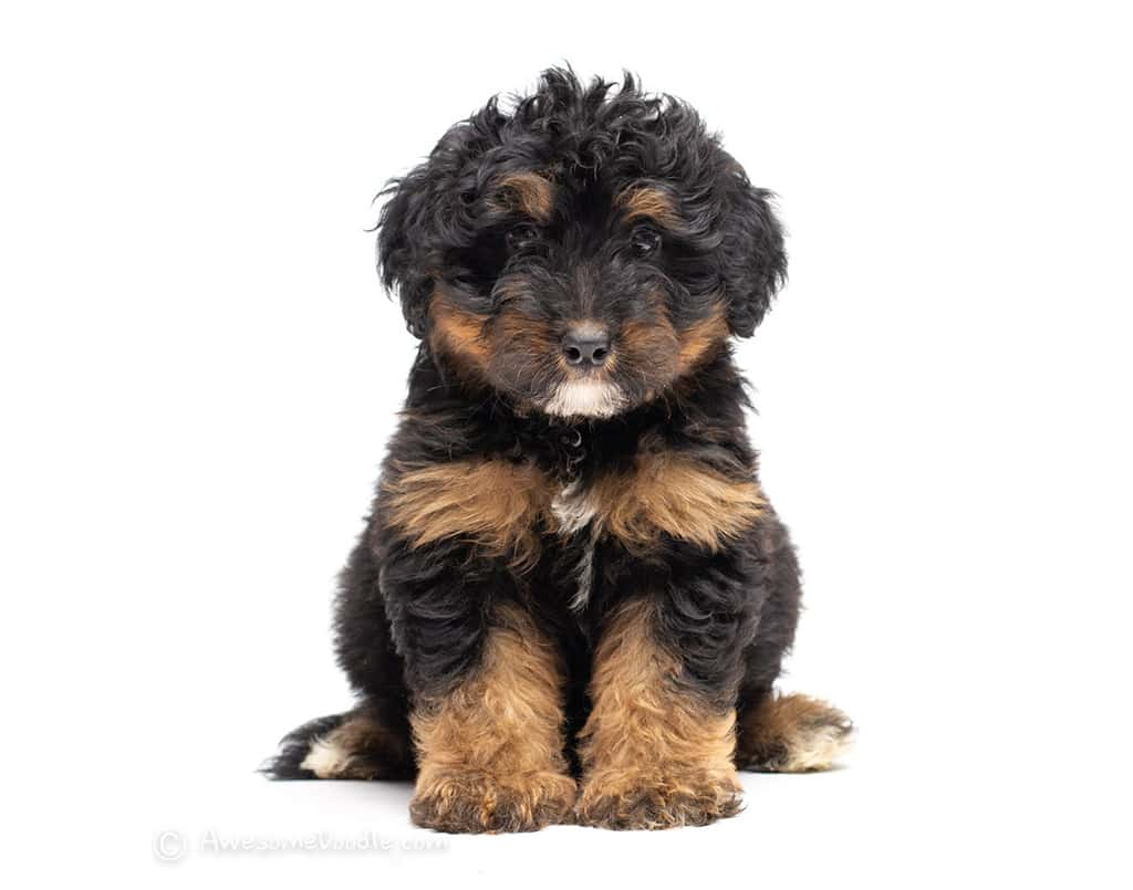 The Best AussieDoodle Puppies, AwesomeDoodle