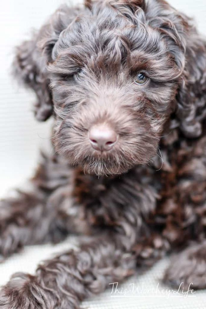 Chance The Labradoodle