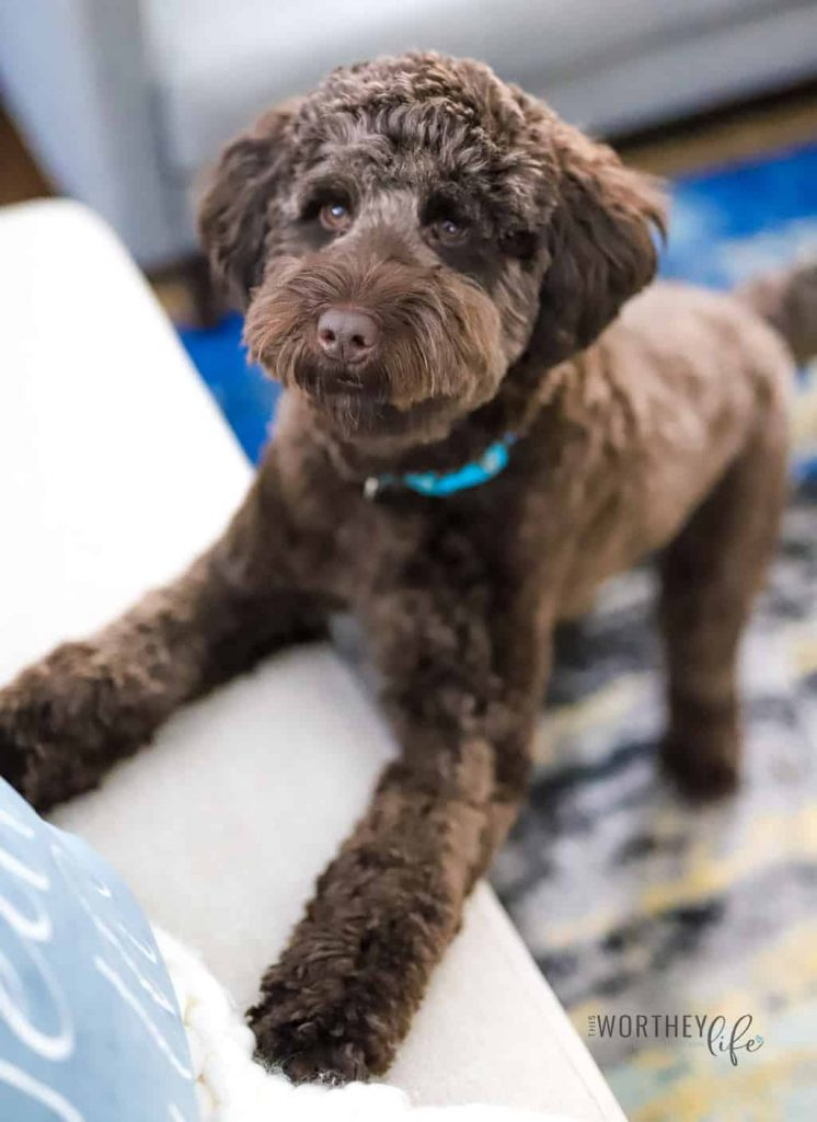 The Best Chocolate Labradoodles
