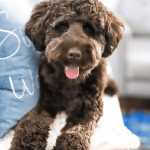 Our chocolate labradoodle loves to get in front of the camera. And today we're showing off some of our favorite doodle's spring photos!
