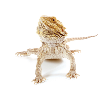 Bearded Dragons for Sale | Reptiles for Sale