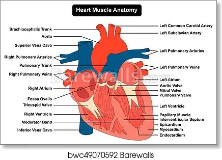 Side view of the human heart diagram wiring diagram database interior structures of the human heart full hd maps locations rh picemaps com female organs on left side internal organs diagram left side ccuart Choice Image