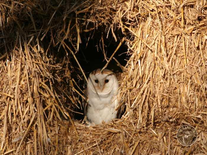 Barn Owls in their habitat - The Barn Owl Trust