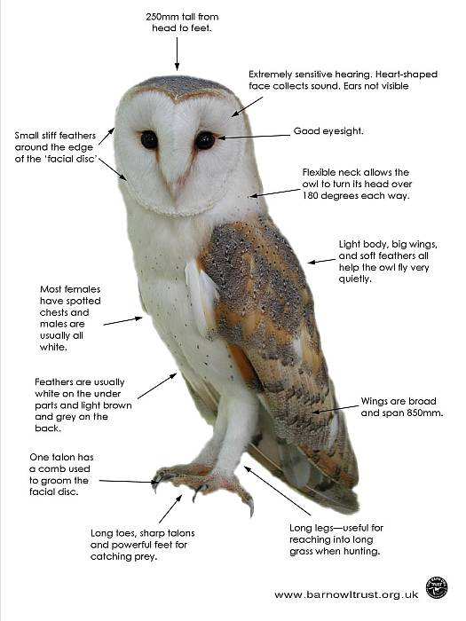 Barn Owl facts - All you need to know about Barn Owls