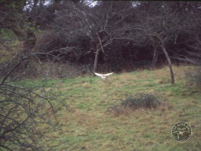 Barn Owl photo galleries & photo guides - The Barn Owl Trust