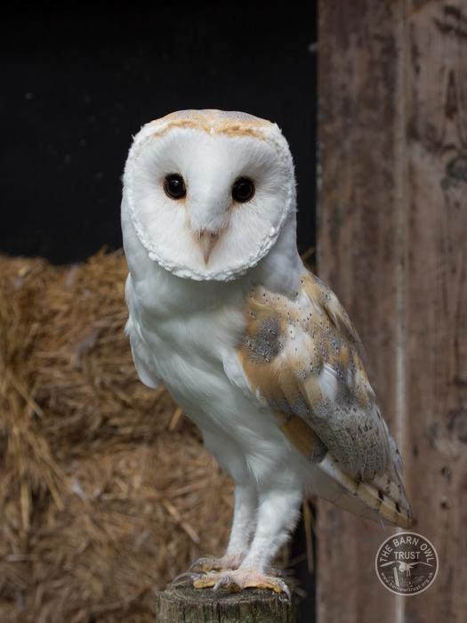 Barn Owl Adoption for 1 year - The Barn Owl Trust