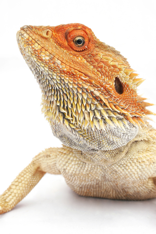 Pet Bearded Dragon Care, Facts & Information