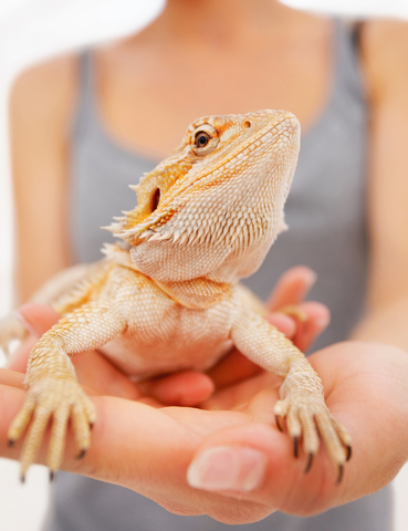Bearded Dragon Breeders and Lizards For Sale