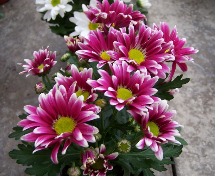 Bertacchi And Sons Flowers for Home and Cemetery  Christmas and     Real Flowers for Cemetery or Home and Garden