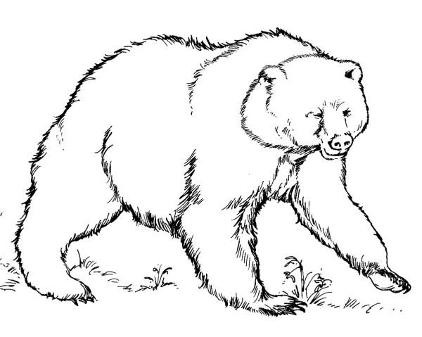 black bear coloring page # 25