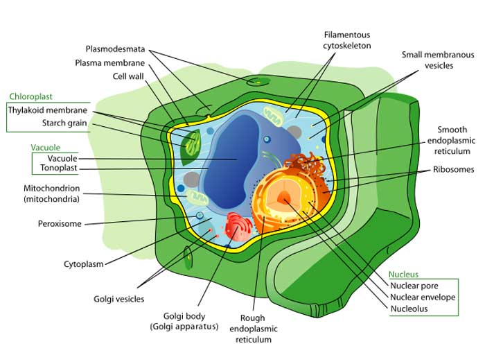 17 Differences Between Plant and Animal Cells   Plant Cell vs Animal     plant cell organelles