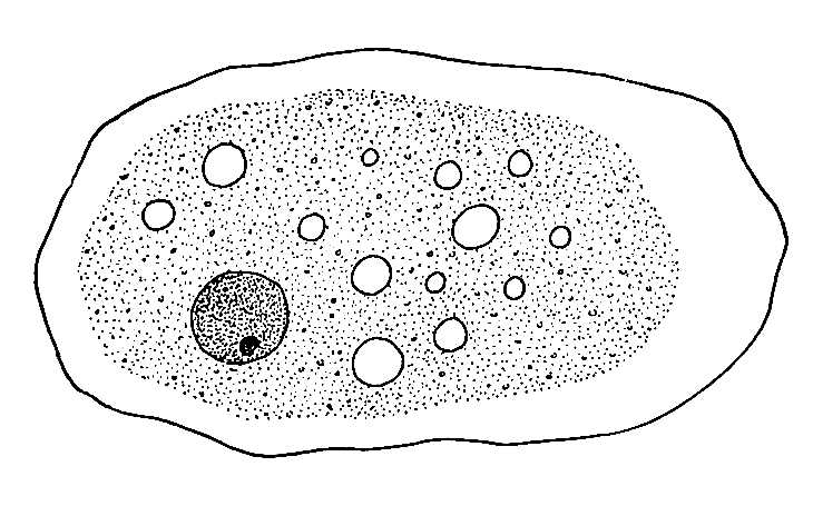 Volvox Diagram Labeled With Chlorophyll
