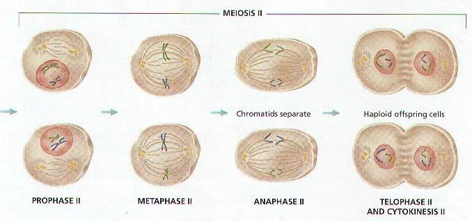 8 Stages Meiosis Order