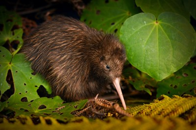 IUCN Red List: kiwis win but most wildlife threatened ...