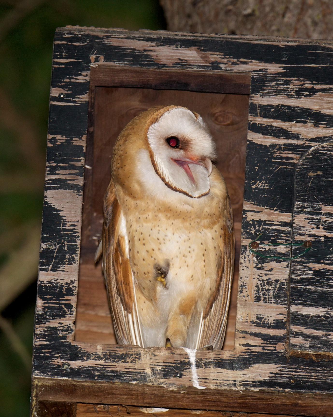 Barn Owls Let You Know   BirdNote