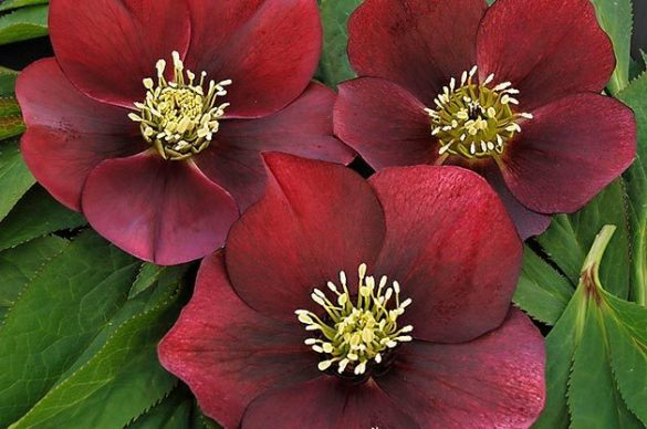 Top 10 Winter Bloomers For Your Flower Garden   Birds and Blooms Flower Garden  Hellebore