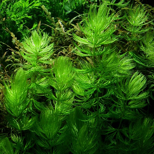 Buy Pond Plants Online