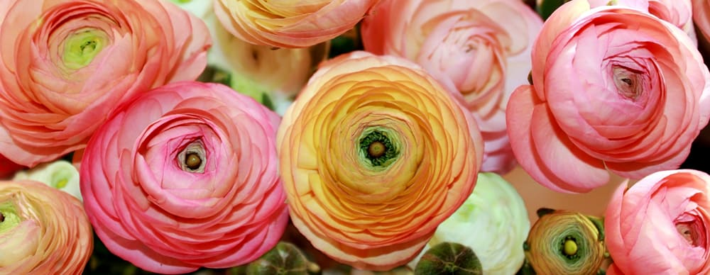 How to care for ranunculus  Redonkulous Ranunculus
