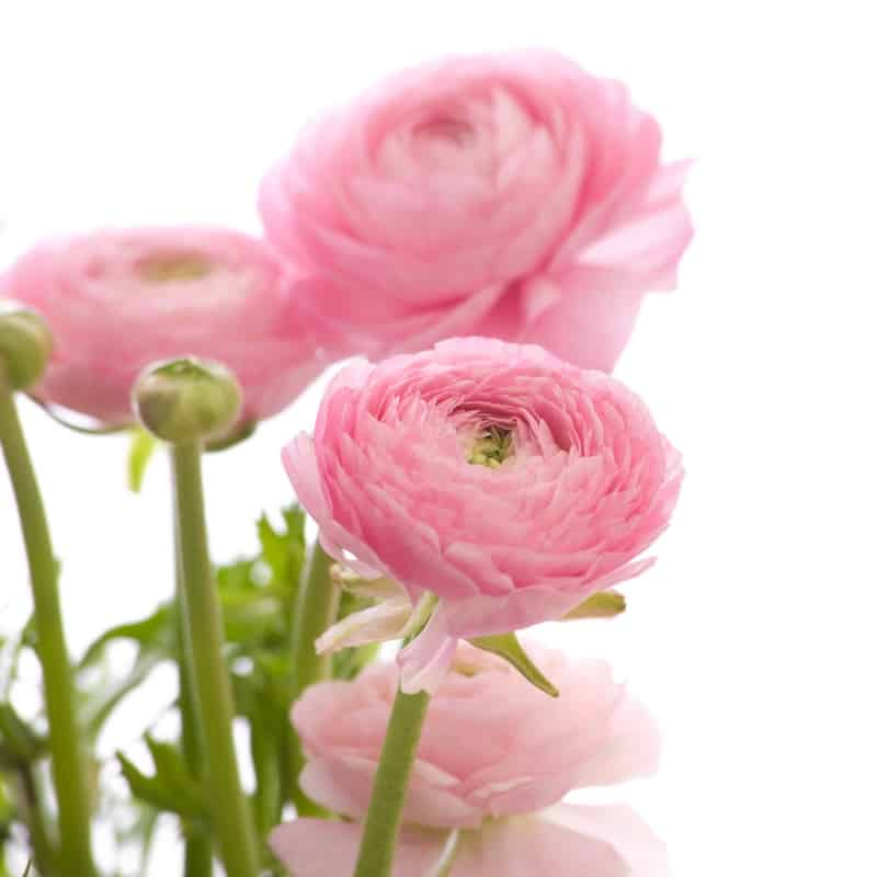 How to care for ranunculus  33 Comments