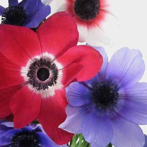 Purple Flowers     DIY Purple Wedding Flowers     BloomsByTheBox com Anemones 5 Bunch X 10 Stem Box  50 Stems
