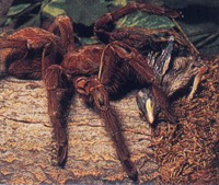 Goliath Bird Eating Spider   Theraphosa blondi The Goliath bird eating spider is  as its name suggests  large enough to eat  a bird  This giant spider is found in the northern South American countries  of