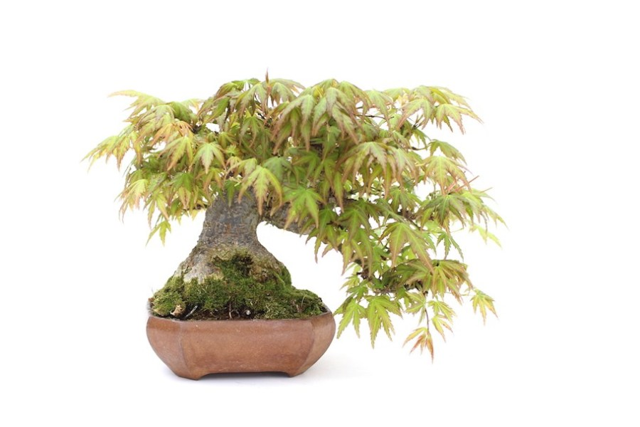 Choosing a Bonsai pot for your tree   Bonsai Empire Maple bonsai