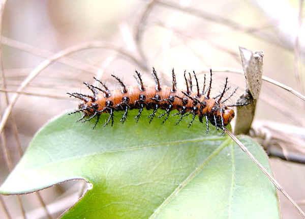 Glasswing Butterfly Acraea Andromacha