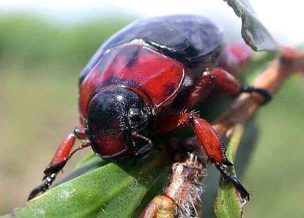 Black Nail Beetle Repsimus Manicatus