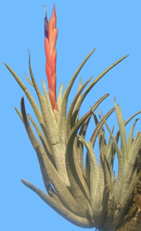 Bromeliads In Australia Tillandsia Pueblensis
