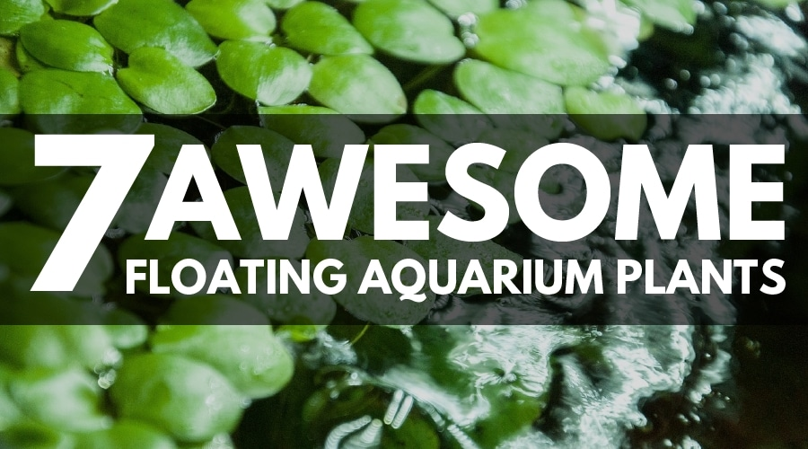 Hornwort Aquarium Benefits
