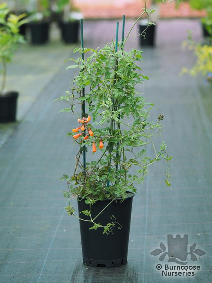 Eccremocarpus Scaber From Burncoose Nurseries