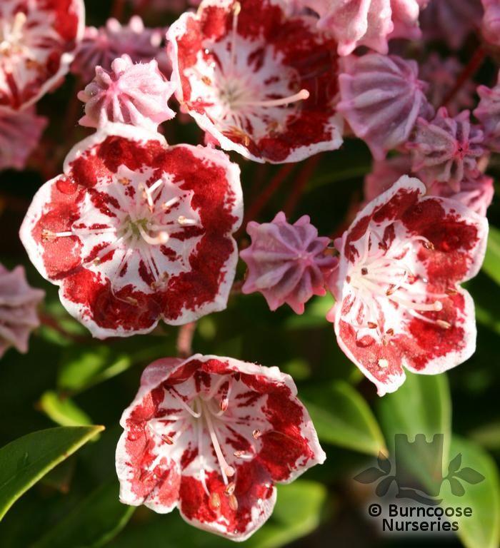 Pink flower bush identification mightylinksfo