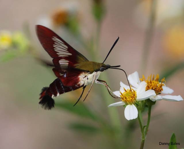 Hawaiian Hummingbird Moth
